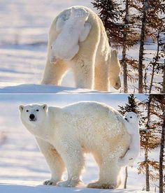Baby polar bear hiding from his mom. Add you caption in comments: - Interesting Things - Google+