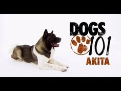 On the hunt for a canine companion? Before you make your decision, watch these helpful videos to help you decide what breed is right for you. Dogs 101, Dogs Of The World, Akita, Girls Best Friend, Puppy Love, Best Dogs, Dog Breeds, Dog Lovers, Puppies