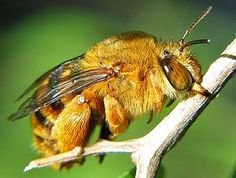 Teddy Bear Bee (Australian native, solitary bee