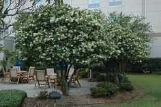 Click to view full-size photo of Japanese Privet (Ligustrum japonicum) at Garden Supply Company