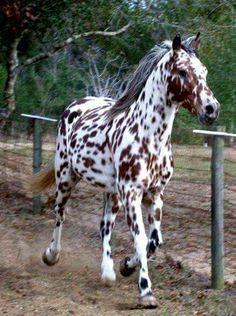 Appaloosa Stallion....Truly one of the most beautiful horses I've ever laid eyes on.