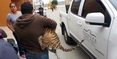 #PorSiNoLoViste Tenían #tigre de bengala como mascota  #ElMexicanoNoticias