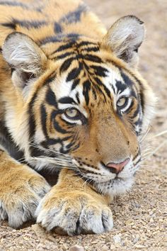 Portrait of Royal Bengal Tiger, Ranthambhor National Park, India
