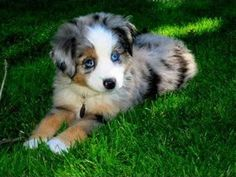 Miniature Australian Shepherd Dog Puppy