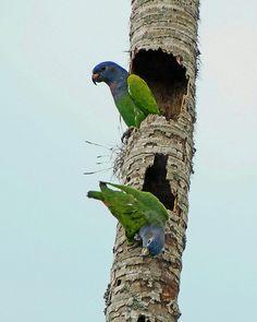 Blue-headed Parrots (Pionus menstruus) | Flickr - Photo Sharing!