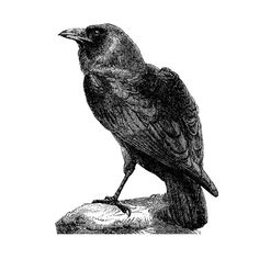 Antique Etched Style Raven Wall Decal