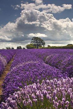 English Lavender, England