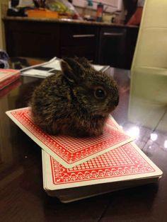 Esse coelhinho do tamanho de uma carta de baralho