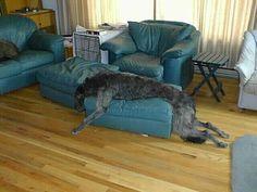 Scottish Deerhound laying about !