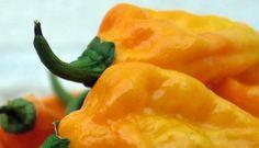 fatalii pepper | Pepper, Fatalii Pepper Seeds | Incredibly Hot Heirloom Pepper