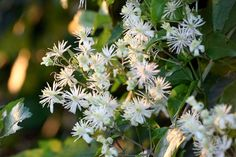 Clematis vitalba (1 live potted plant)- Vigorous Rambling Climber, Native uk wild plant for moths by RootGarden on Etsy