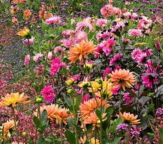 Collection of Dahlias- pretty