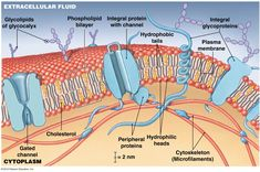 Proteins are in the cell membrane. Integral and peripheral proteins. Integral proteins often act as transport channels or play a role in cell junctions. Peripheral proteins can act as enzymes or receptors. Biology Classroom, Biology Teacher, Cell Biology, Membrane Structure, Cell Structure, Plasma Membrane, Cell Membrane, Teaching Science, Life Science