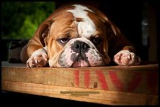 ❤ Can't you just hear the sigh as this baby laid down LOL ❤ Posted on Baggy Bulldogs