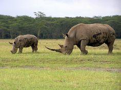 .Hvidt næsehorn / Kenya