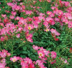 pink drift groundcover roses | Pink Drift® | Star® Roses and Plants