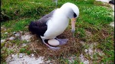 The world's oldest known seabird has laid an egg at the age of Wisdom, a Laysan albatross was spotted at her nest in Midway Atoll national wildlife refuge in Hawaii Sea Birds, Wild Birds, Midway Atoll, New Egg, Natural World, Beautiful Birds, Old Things, Happy Things, Wildlife