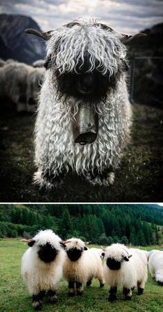 These are Valais Blacknose Sheep, and people can't decide whether they're cute or scary. This sheep breed is raised mostly for wool and originally Animals And Pets, Baby Animals, Cute Animals, Wild Animals, Valais Blacknose Sheep, Sheep Breeds, Cute Sheep, Funny Sheep, Sheep And Lamb