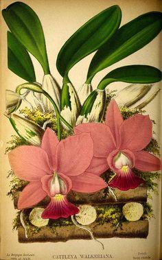 204451 Cattleya walkeriana Gardner / La Belgique horticole, journal des jardins et des vergers, vol. 29: t. 17 (1879)