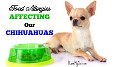 A Chihuahua dog site with grooming, training, health tips, chihuahua stories and more. Chihuahua Facts, Cute Chihuahua, Chihuahua Puppies, Chihuahuas, Dog Skin Allergies, Food Allergies, Hypoallergenic Dog Food, Grain Free Dog Food, Food F