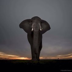 African Queen by Kyriakos Kaziras - Photo 123969675 / Photo Elephant, Elephant Love, Bull Elephant, Wild Life, Beautiful Creatures, Animals Beautiful, Animals And Pets, Cute Animals, Save The Elephants