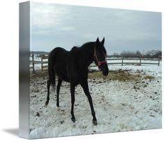"""""""Black+Stallion""""+by+Roseann+Riggi-Knudson,+Bartlett+//+Handsome+stallion+in+winter+//+Imagekind.com+--+Buy+stunning+fine+art+prints,+framed+prints+and+canvas+prints+directly+from+independent+working+artists+and+photographers."""