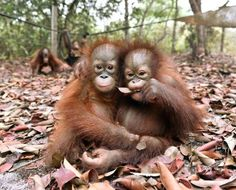 Baby orangutans, who had been suffering from respiratory problems caused by thick haze, play at a nursery in the rehabilitation centre operated by the BOSF on the outskirts of Palangkaraya in central Kalimantan