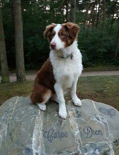 Daisy my australiën shepherd