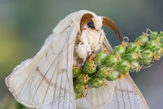 Silk Moth (Bombyx mori) Photo by guraydere Cute Creatures, Fantasy Creatures, Beautiful Creatures, Beautiful Bugs, Beautiful Butterflies, Cute Little Animals, Cute Funny Animals, Nature Animals, Animals And Pets