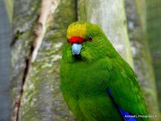 Kakariki - Yellow-crowned parakeet - NZ Wild Birds - AndreaEL Photography Southland New Zealand