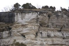 Vultures on bluffs in Prairie du Rocher, IL