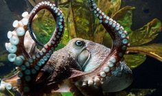 'Inky' the octopus, which escaped from the National Aquarium in New Zealand via a drainpipe.