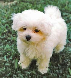 Choose a #maltese Puppy
