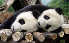 Two giant pandas play at China Giant Panda Protection and Research Centre in Wolong National Natural Reserve, southwest China's Sichuan province. China's Taiwan Affairs Office on October 13, 2005 presented pictures and resumes of 11 pandas in the running to be sent as a gift to Taiwan. A list of 23 of the endangered animals was whittled down to 11 and the lucky winners, a boy and a girl, will be picked. (Newsphoto)