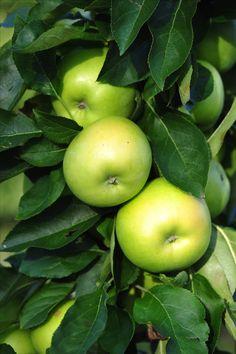Goldlane Frisch süßer gelblicher Apfel, der vom Geschmack an einen Elstar erinnert.