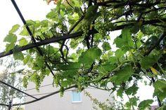 Ein Pergola im Küchengarten | Dragonflys Gartenblog Pergola, Pavillion, Cluster, Utility Pole, Home And Garden, House Exteriors, Plants, Nature, Outdoor Pergola