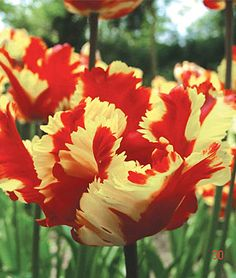Flaming Parrot Tulip Bulbs, Flower Bulbs at Burpee.com