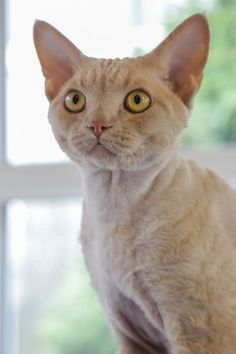The Devon Rex Cat is a breed of intelligent, short-haired cat that emerged in England during the 1960s. They are known for their slender bodies, wavy coat, and large ears. This breed of cat is capable of learning difficult tricks.  #Devon #Rex #Cat #Breed #DevonRexCat #DevonCat #DevonRex #RexCat #DevonRexKittens #DevonKittens #RexKittens