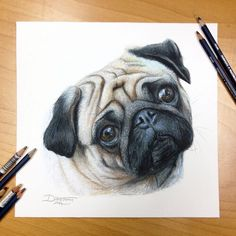 Pug drawing