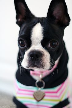 "500px / Photo ""Pretty Boston Terrier"" by Courtnie Allen"