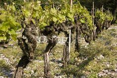 ceps de vigne en savoie