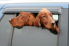 Why Do Dogs Stick Their Heads Out of Car Windows?