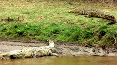 A exímia camuflagem prova que, animal nenhum tem a arrogância de se pensar invencível. Imensos e poderosos.... somem nas margens à espera de suas presas.