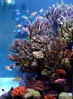 chingchai-aquarium-side. http://reefbuilders.com/2013/10/07/tales-thailand-chingchais-incredible-dsps-tank/: