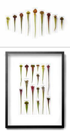 Pitcher plant (Sarracenia species), native to bogs  #carnivorous_plant #garden #houseplant