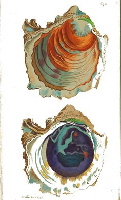 Animal - Sea Shell - Oyster, open, 19th C drawing