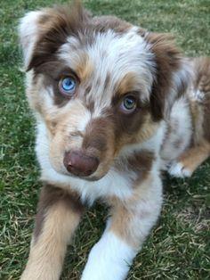 #australian shepherd #aussie #puppy