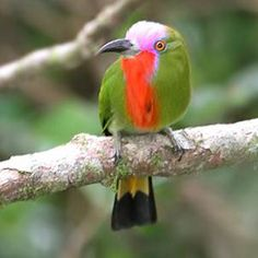 The Red-bearded Bee-eater, Nyctyornis Amictus, is a large species of bee-eater found in the Indo-Malayan sub-region of South East Asia.