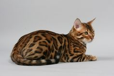 Bengal cat, gorgeous!