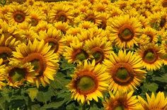 sunflowers pictures - Buscar con Google